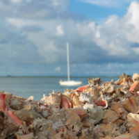 Caribbean conch shell pile on Bimini's bay, The Bahamas.